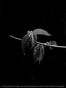 015-leaves-wdsm-11may17-09x12-201-350-bw-9048