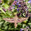 015-insect_moth-wdsm-28may12-6436