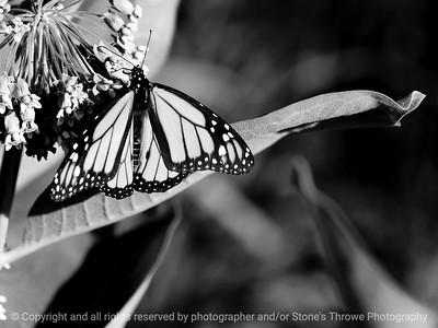 015-butterfly-wdsm-28jun10-lcvr-bw-5770