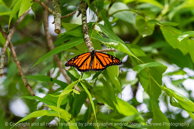 015-butterfly-wdsm-06jul19-12x08-008-400-1486