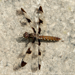 015-dragonfly-wdsm-14jun18-06x06-006-350-5461
