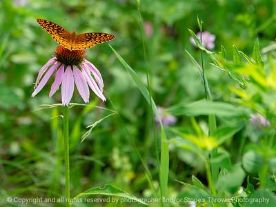 015-butterfly-wdsm-14jun18-12x09-002-300-5483