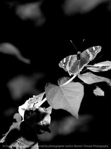 015-butterfly-wdsm-21jun10-cvr-bw1-5561