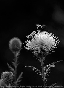 015-bee_thistle-wdsm-04sep08-c1-bw-0872
