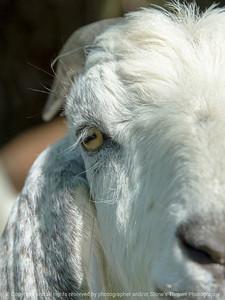 015-goat-wdsm-17may18-12x08-500-4861