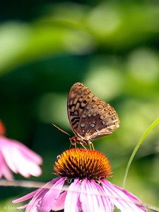 015-butterfly-wdsm-30jun12-001-0399