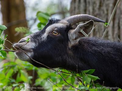 015-goat-wdsm-09may18-12x09-002-4510