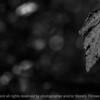 leaf_autumn-wdsm-05oct15-18x12-023-bw-5429