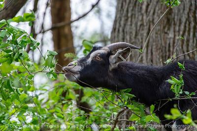 015-goat-wdsm-09may18-12x08-007-4510