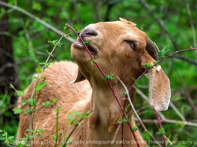 015-goat-wdsm-14may18-12x09-350-4755