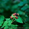 015-blackberry_fruit-wdsm-19jun17-18x12-003-9548