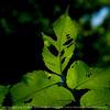 015-leaf-wdsm-04jun16-09x09-006-9830