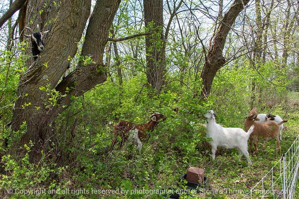 015-goats-wdsm-09may18-12x08-007-4516
