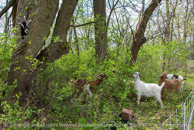015-goats-wdsm-09may18-12x08-007-4516