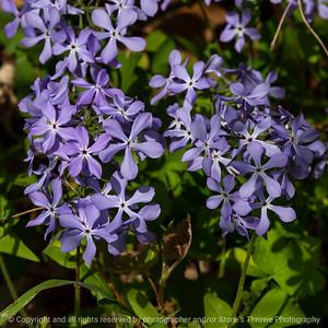 015-flower_phlox-wdsm-30apr21-09x09-006-400-0911