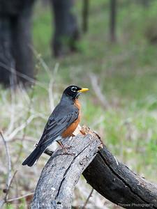 015-bird_robin-wdsm-16apr16-18x12-003-7610
