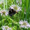 015-butterfly-wdsm-24jul16-09x12-001-4918