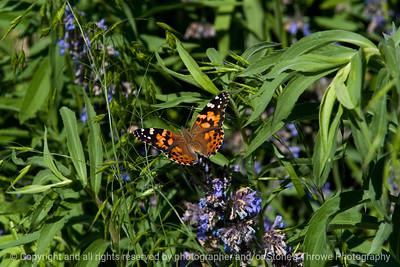 015-butterfly-wdsm-06jun17-18x12-003-3141