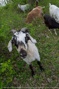 015-goats-wdsm-09may18-08x12-007-4478