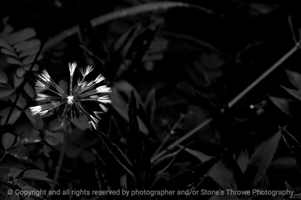 015-dandelion-wdsm-24may16-18x12-003-bw-9374