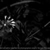 015-dandelion-wdsm-24may16-18x12-003-bw-9374