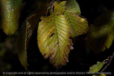 015-autumn_leaf-wdsm-08sep17-12x08-007-1535