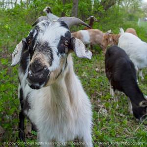 015-goat-wdsm-09may18-09x09-350-4470