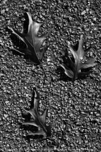 015-leaves_autumn-wdsm-28oct17-08x12-207-bw-2533