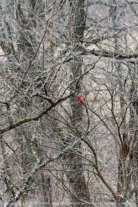 015-bird_cardinal-wdsm-05apr19-08x12-008-500-9805