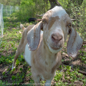 015-goats-wdsm-09may18-09x09-006-4457