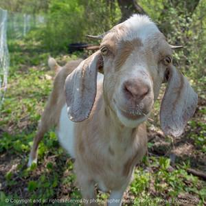 015-goats-wdsm-09may18-09x09-006-4457
