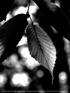 015-leaf-wdsm-01jun16-09x12-001-bw-9531