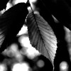 015-leaf-wdsm-01jun16-09x12-001-bw-9531