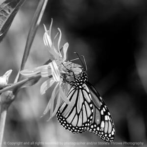 butterfly-wdsm-13aug15-09x09-006bw-4216