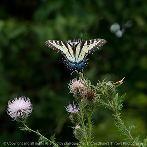 015-butterfly-wdsm-26aug17-09x09-006-350-0842