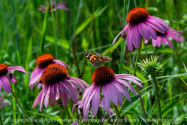 015-butterfly-wdsm-02aug19-12x08-008-500-2682