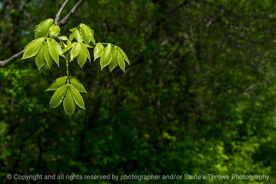 015-leaves-wdsm-10may18-12x08-007-350-4641