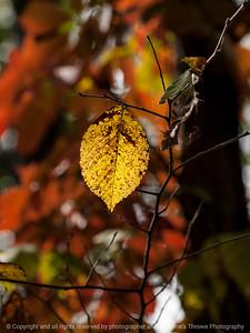 leaf_autumn-wdsm-05oct15-09x12-001-5428