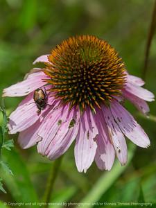 015-flower_beetle-wdsm-26jul18-09x12-001-350-6205