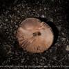 015-fungi_mushroom-wdsm-23jun16-18x12-003-0024