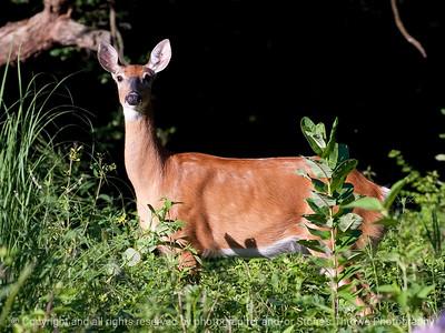 015-deer-wdsm-12jul10-lcvr-5959