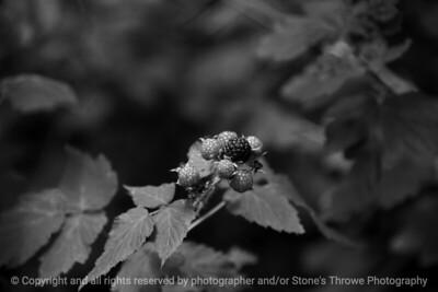 015-blackberry_fruit-wdsm-19jun17-18x12-033-bw-9548