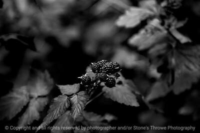 015-blackberry_fruit-wdsm-19jun17-18x12-023-bw-9548