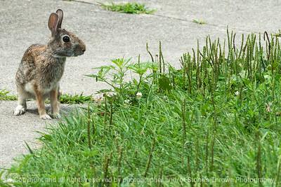 015-rabbit-wdsm-15aug16-18x12-003-5139