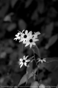 015-background_flower-wdsm-07aug20-08x12-008-400-bw-7479