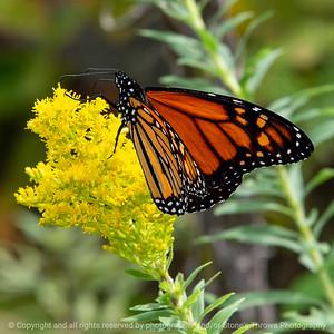 015-butterfly-wdsm-03x03-006-350-7436