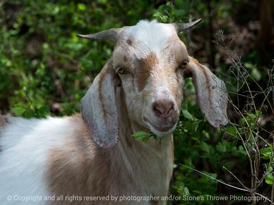 015-goat-wdsm-09may18-12x09-350-4454