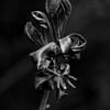 015-leaf_hickory-wdsm-12may16-09x12-001-bw-8689