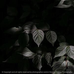 015-leaves-wdsm-22aug18-09x09-006-350-7166