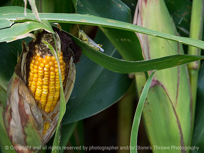 015-corn_grasshopper-story_co-27aug17-12x09-002-1063